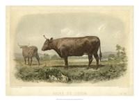 Vache De Devon Fine-Art Print