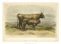 Vache De Salers Fine-Art Print