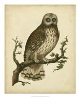 Antique Nozeman Owl II Fine-Art Print