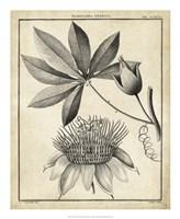 Passiflora II Fine-Art Print
