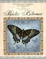 Papilio Blumei Fine-Art Print