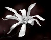 Magnolia Dreams I Fine-Art Print