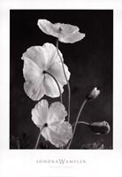 Iceland Poppies I Fine-Art Print