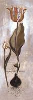 Tulipa Violoncello V Fine-Art Print