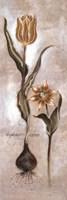 Tulipa Violoncello VI Fine-Art Print