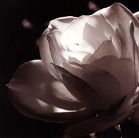 White Rose II Fine-Art Print