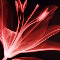 Lilium Radiance Fine-Art Print