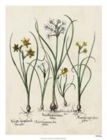 Besler Narcissus II Fine-Art Print
