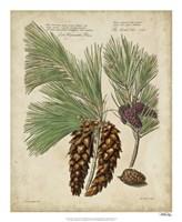 Antique Conifers II Fine-Art Print
