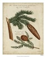 Antique Conifers III Fine-Art Print