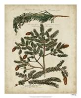 Antique Conifers IV Fine-Art Print
