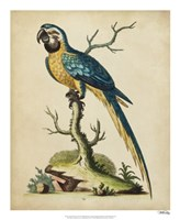 Edwards Parrots II Fine-Art Print