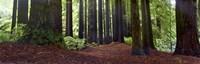 Redwoods 1 Fine-Art Print