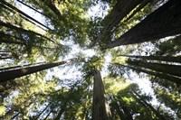Redwoods Fine-Art Print