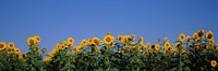 Sunflowers in a field, Marion County, Illinois, USA (Helianthus annuus) Fine-Art Print