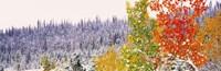 Winter, Aspens, USA Fine-Art Print