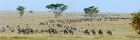 Herd of wildebeest and zebras in a field, Ngorongoro Conservation Area, Arusha Region, Tanzania Fine-Art Print