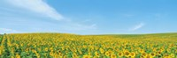 Field of sunflower with blue sky Fine-Art Print