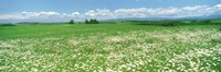Meadow flowers, Daisy field Fine-Art Print