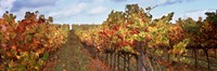 Autumn in a vineyard, Napa Valley, California, USA Fine-Art Print