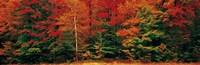 Fall Maple Trees Fine-Art Print