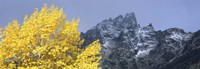 Aspen tree with mountains in background, Mt Teewinot, Grand Teton National Park, Wyoming, USA Fine-Art Print
