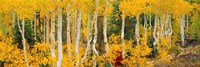 Aspen Trees in Autumn, Dixie National Forest, Utah Fine-Art Print