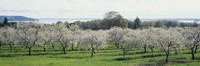Cherry trees in an orchard, Mission Peninsula, Traverse City, Michigan, USA Fine-Art Print