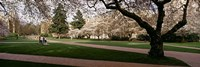 Cherry trees in the quad of a university, University of Washington, Seattle, Washington State Fine-Art Print