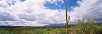 Cactus in a desert, Saguaro National Monument, Tucson, Arizona, USA Fine-Art Print