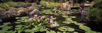 Lotus blossoms, Japanese Garden, University of California, Los Angeles, California Fine-Art Print