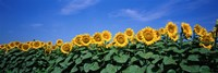 Field Of Sunflowers, Bogue, Kansas, USA Fine-Art Print