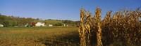 Corn in a field after harvest, along SR19, Ohio, USA Fine-Art Print