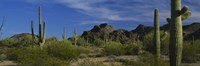 Cactus plant on a landscape, Sonoran Desert, Organ Pipe Cactus National Monument, Arizona, USA Fine-Art Print