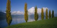 Row of poplar trees along a lake, Lake Zug, Switzerland Fine-Art Print