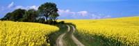 Canola, Farm, Yellow Flowers, Germany Fine-Art Print