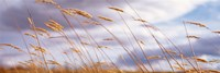 Wheat Stalks Blowing, Crops, Field, Open Space Fine-Art Print