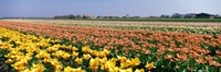 Field Of Flowers, Egmond, Netherlands Fine-Art Print