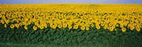 Sunflower Field, Maryland, USA Fine-Art Print