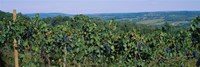 Bunch of grapes in a vineyard, Finger Lakes region, New York State, USA Fine-Art Print