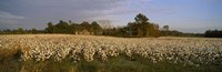 Cotton plants in a field, North Carolina, USA Fine-Art Print