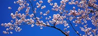 Cherry Blossoms Washington DC Fine-Art Print