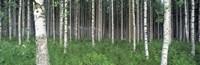 Birch Forest, Punkaharju, Finland Fine-Art Print