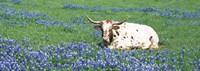 Texas Longhorn Cow Sitting On A Field, Hill County, Texas, USA Fine-Art Print