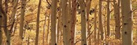 Aspen trees in Autumn, Rock Creek Lake, California Fine-Art Print