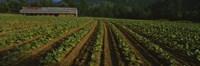 Tobacco Field in North Carolina Fine-Art Print