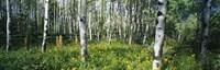 Field of Rocky Mountain Aspens Fine-Art Print