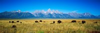 Field of Bison with mountains in background, Grand Teton National Park, Wyoming, USA Fine-Art Print