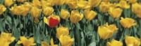 Yellow tulips in a field Fine-Art Print