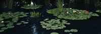 Water lilies in a pond, Denver Botanic Gardens, Denver, Colorado, USA Fine-Art Print